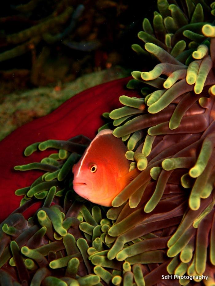 skunk-anemone-fish